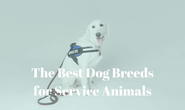 The Best Dog Breeds for Service Animals