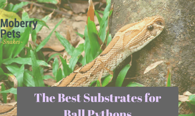 The Best Substrate for Ball Pythons