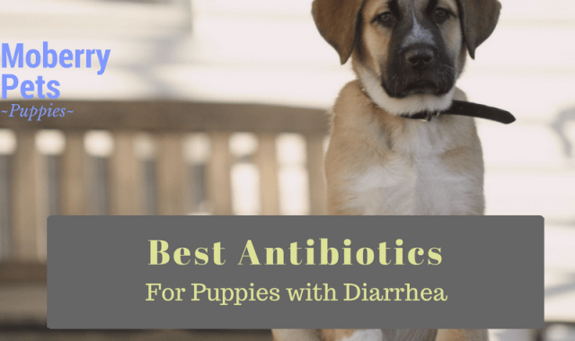 Probiotics for Puppies with Diarrhea