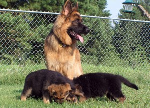 German Shepherd Crate Training Schedule