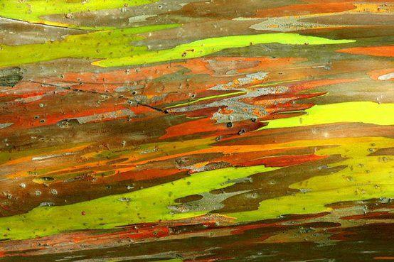 rainbow eucalyptus pohon penuh warna 6