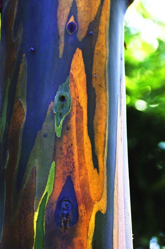 rainbow eucalyptus pohon penuh warna 11