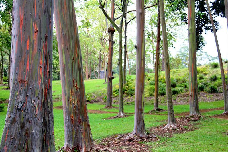 rainbow eucalyptus pohon penuh warna 10