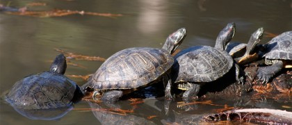 turtles-in-line