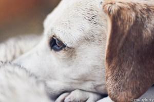 Beagle Bilder