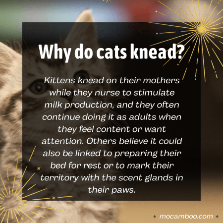 Q. Why do cats knead? Ans. Kittens knead on their mothers while they nurse to stimulate milk pro ...
