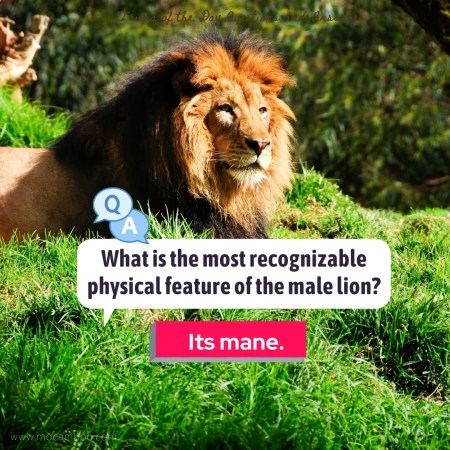 What is the most recognizable physical feature of the male lion?