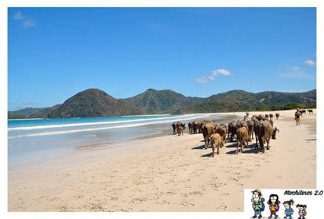 Bufalos en playa de Lombok