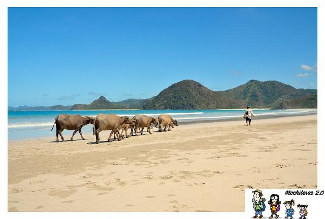 Bufalos en la playa de Selong Belanak