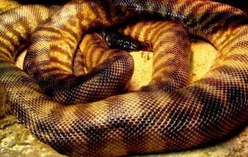 Ilha_de_Queimada_Grande_Golden_Lancehead_snake_4