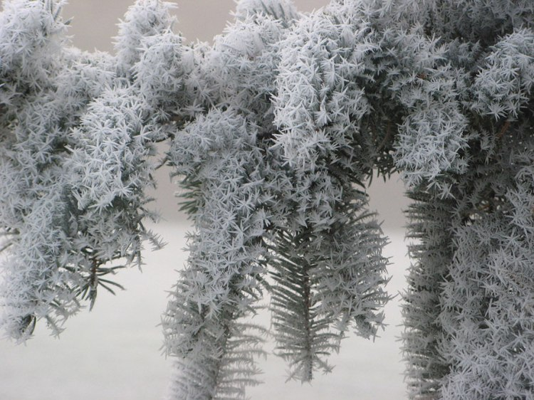 Frozen art by nature, pine