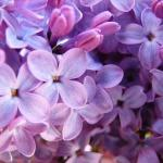 Lilac-blossoms-flowers