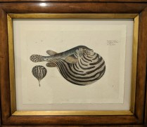 """**ITEM NOW SOLD** Trowbridge framed print of Nile Puffer fish. Numbered edition, 6 years old. Handcrafted frame. 27""""w x 22.5""""h. Orig. List: $450. Modele's Price: 250.-"""