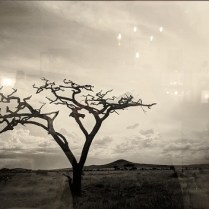 """**ITEM NOW SOLD** Framed Daniel O'Neill photograph of African tree (mat and frame cropped out to reduce reflection). 34.5""""w x 28.5""""h. 350.-"""