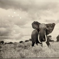 "**ITEM NOW SOLD** Framed Daniel O'Neill photograph of African elephant (mat and frame cropped out to reduce reflection). 34.5""w x 28.5""h. 350.-"