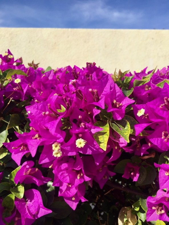Bright Pink Bougainvillea flowers against white wall and blue sky