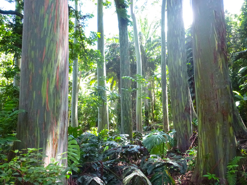 Rainbow eucalyptus trees maui hawaii
