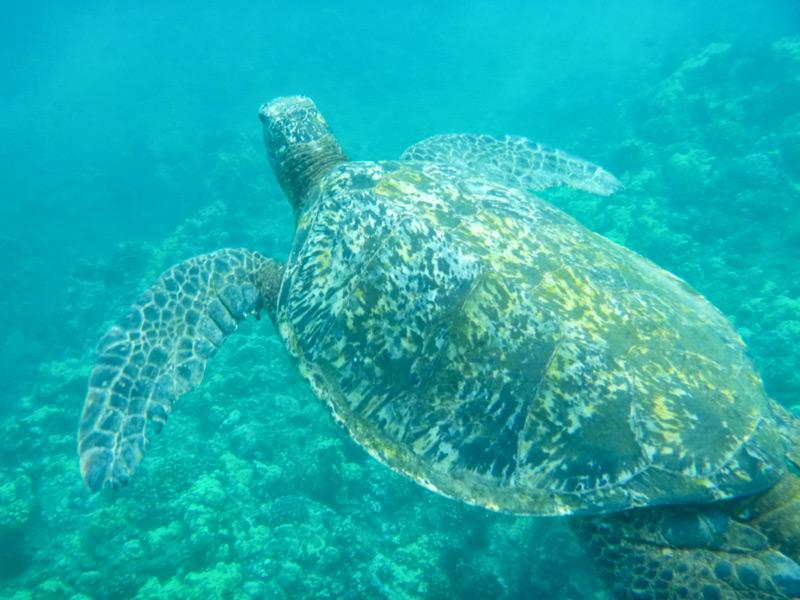 Sea turtle maui hawaii