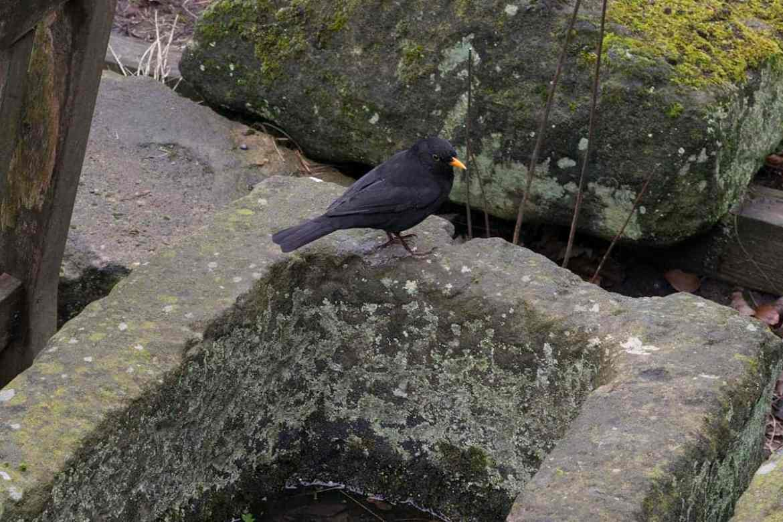 A blackbird takes a bath in the Museum Gardens, York