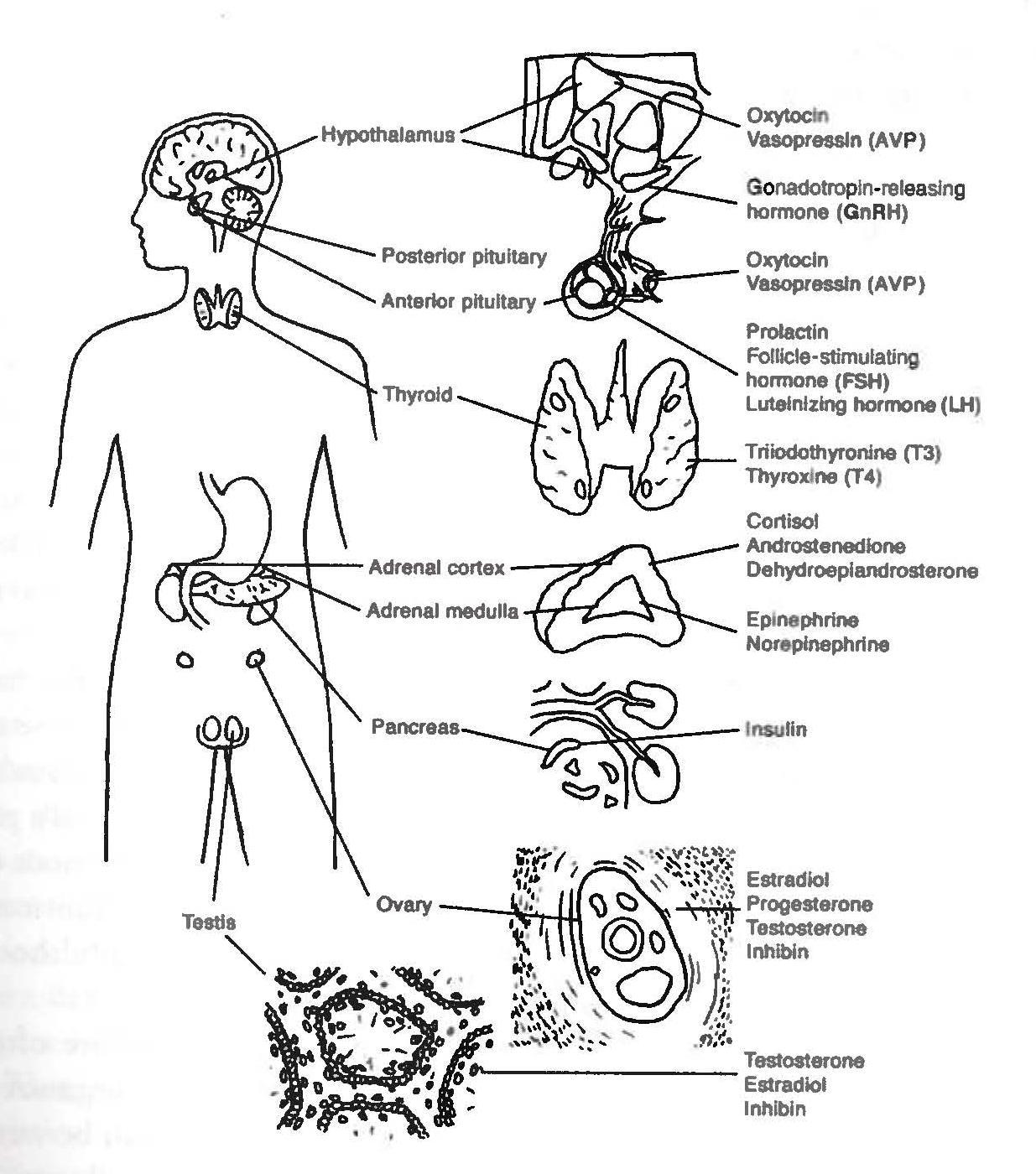 Endocrine System Unlabeled Diagram