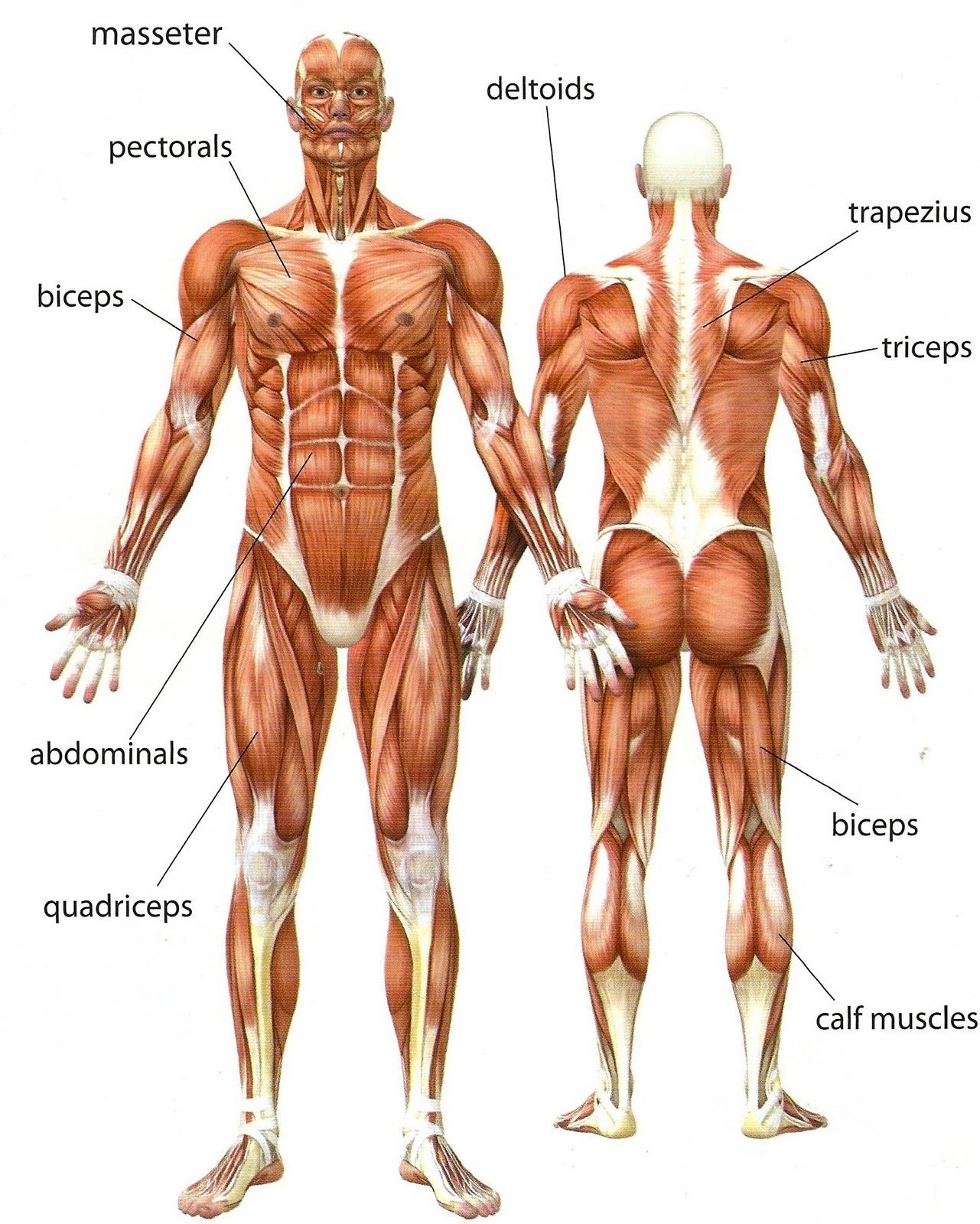 Body Muscle Anatomy Worksheet