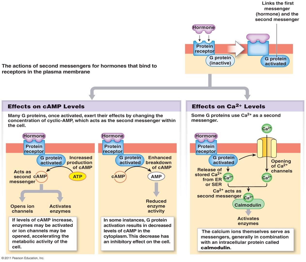 Simple Endocrine System Diagram To Label