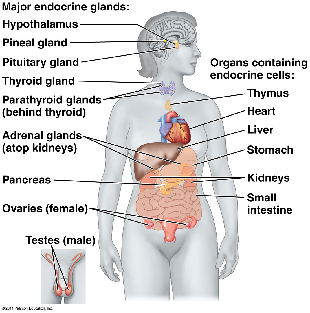 In The Nervous System Organs And Glands