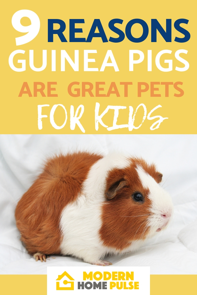 Guinea Pigs Make Great Pets For Kids