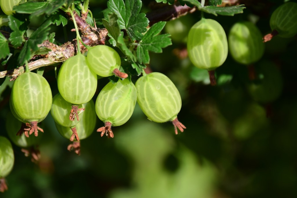 gooseberry from cutting