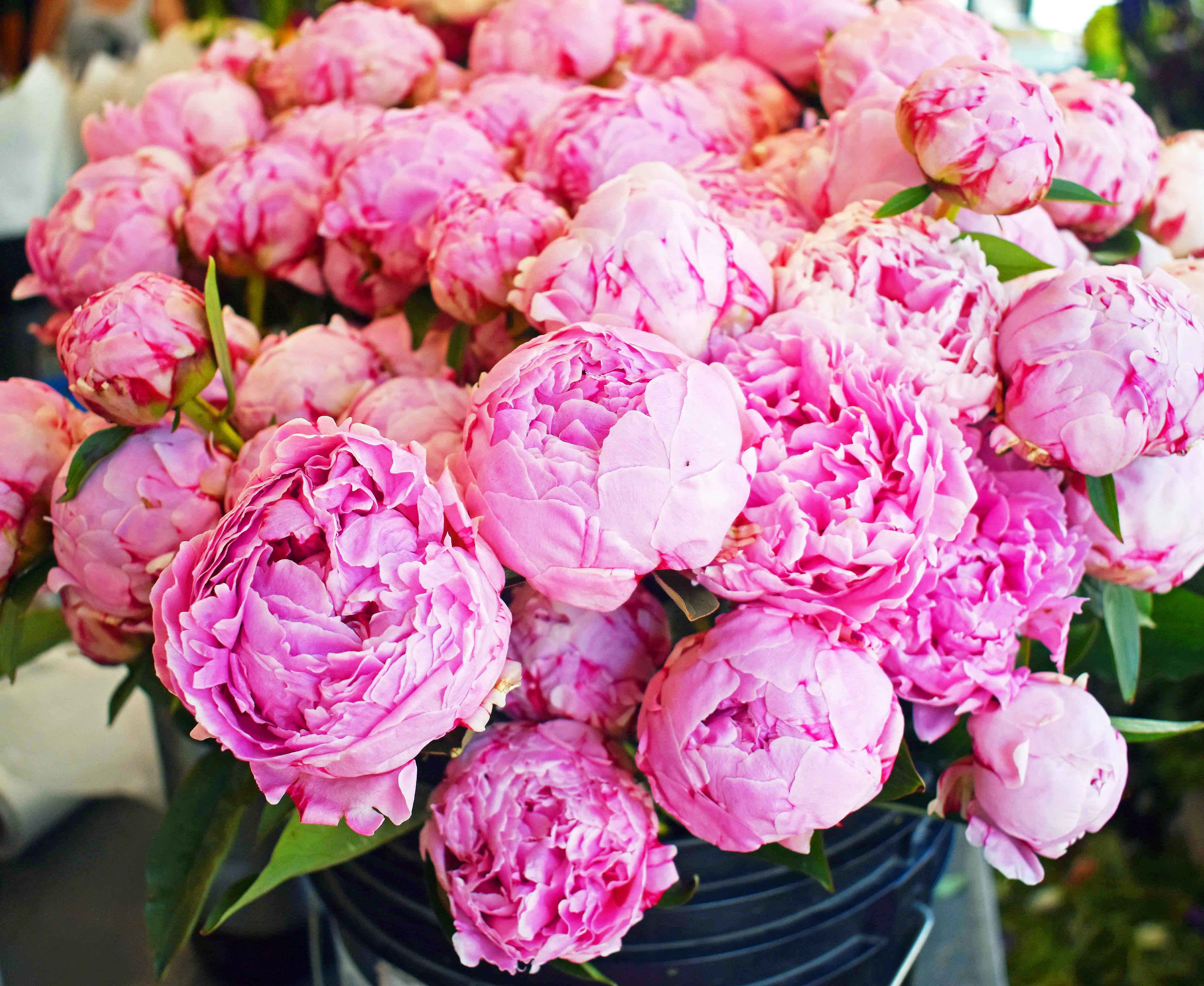 Pink peonies at Pike Place Market. Best Places to Eat and See in Seattle. The most popular spots to visit and the best restaurants. Tips on the best places to see in Seattle Washington. www.modernhoney.com