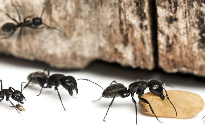 Image Titled Get Rid Of Carpenter Ants Step 3