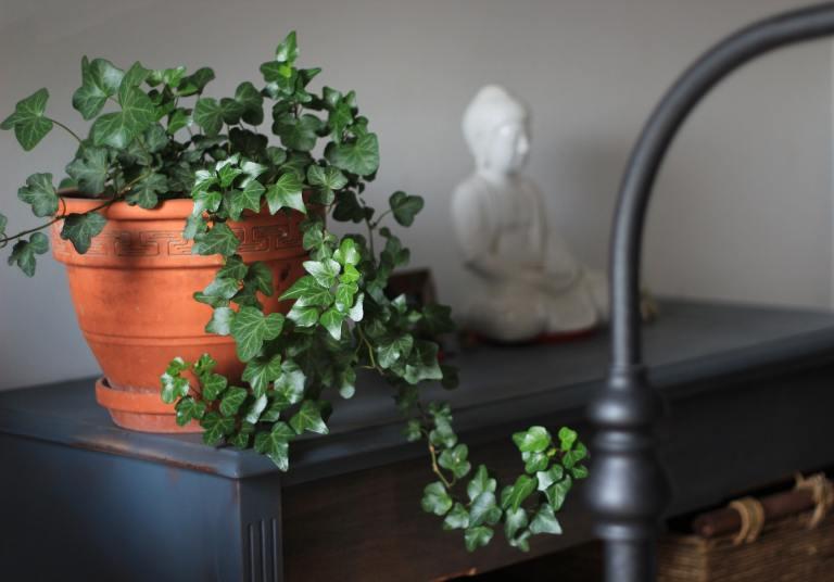 Engleski bršljan - biljke koje vole tamu