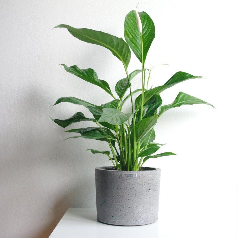 Biljke koje vole tamu - Spatifilum Kut na Kvadrat