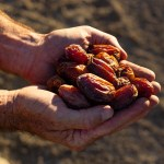 David's hands filled with freshly harvested medjool dates