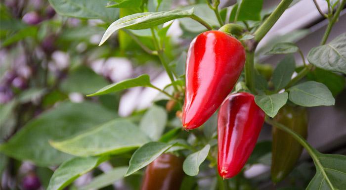 Má vplyv chilli na chudnutie? Naša recenzia vám dokáže, že áno!