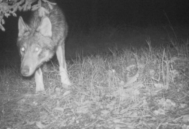 vlk kysuce 1