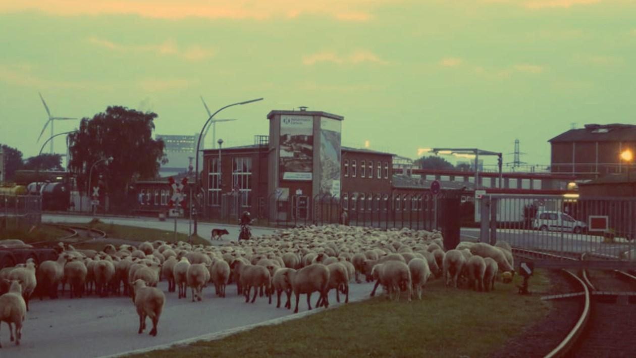 Schafe in Hamburg Wilhelmsburg