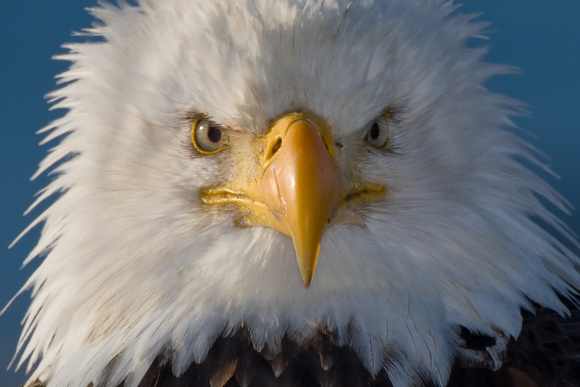 bald eagles face colouring pages