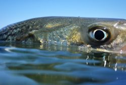 Striped Bass Survey Exhibits Wholesome Inhabitants Progress