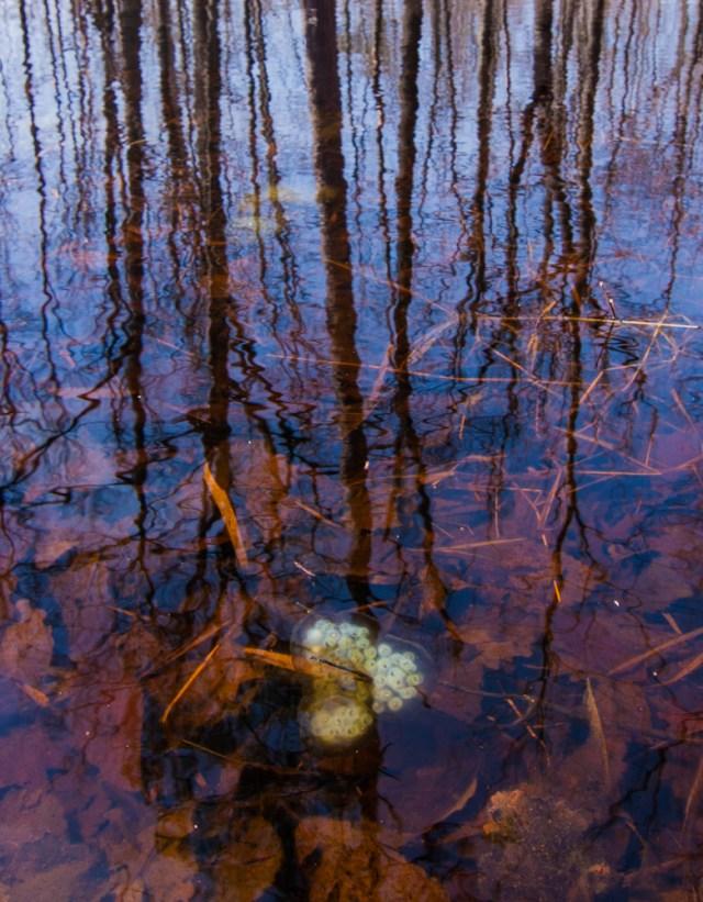 Spotted Salamander (Ambystoma maculatum) egg mass. Photo by Rob Denton