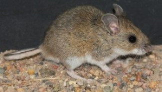 The Deer mouse, Peromyscus maniculatus. Image courtesy of J. N. Stuart, Flickr