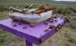 Cape honey beesat a feeding station. Photograph by Anthony Vaudo, University of Florida