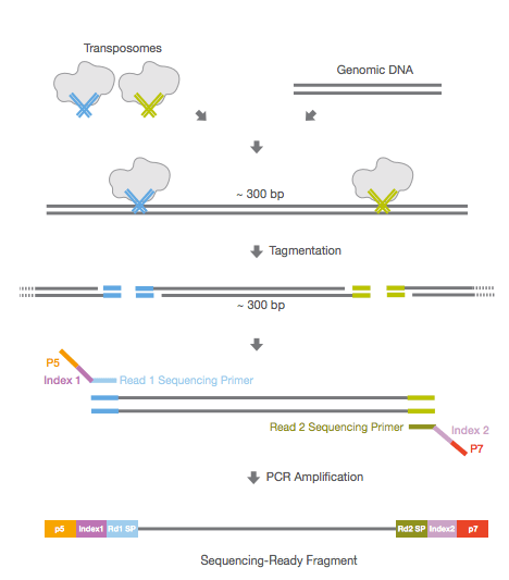 """tagmentation"" using Illumina's Nextera library prep kit (from: illumina.com)"
