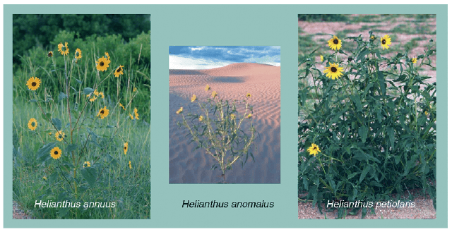 The formation of a new sunflower species. Hybridization among sunflower species constitutes currently the genetically best documented case for homoploid hybrid speciation. The photograph shows the two parental species (on the left and right) that have hybridized to give rise to a new species (in the centre). Note that the new species grows in a habitat (i.e. the desert) that would not be accessible to either parental species. The initial hybridization event occurred 50 000 years ago and chromosomal inversions have contributed to the stabilization of the hybrid species within the first few hundred generations. Artificial crosses among the parental species result in hybrid lineages that can also occupy the desert environment, suggesting that the alleles that have contributed to the hybrid species are still part of the current gene pool of the parental species.