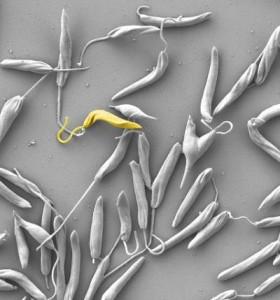 Phytomonas © www.cas.cz