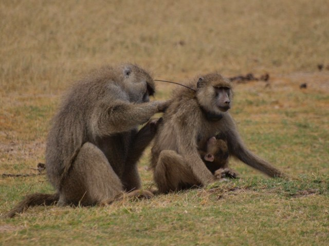 Male yellow baboon grooming a female baboon (photo by Noah Snyder-Mackler)