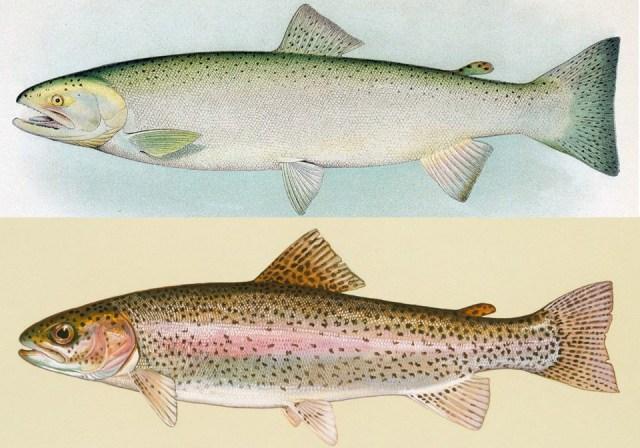 Salmon comparison