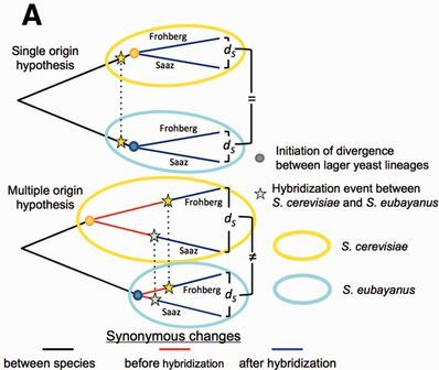 Hypothesized origins of Frohberg and Saaz strains - image courtesy Baker et al. (2015) http://mbe.oxfordjournals.org/content/early/2015/08/20/molbev.msv168/F6.large.jpg