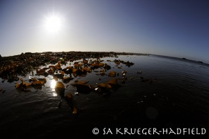 Kelps species at low tide. © SA Krueger-Hadfield