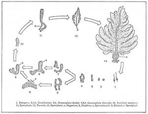 The haploid-diploid life cycle of Undaria © fao.org